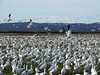 A wild goose chase (kkdemien) Tags: snowgeese skagit