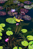 Lilly PondLO-0009 (Mary D'Elia) Tags: fernflorida flowers lillypads nature water waterlillies