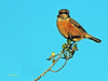 Saxicola rubicola (Tarabilla europea) (7) (eb3alfmiguel) Tags: pájaro aves passeriformes insectívoros turdidos turdidae tarabilla europea saxicola rubicola