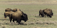0246937534-96-Where the Buffalo Roam-1 (Jim There's things half in shadow and in light) Tags: yellow buffalo bison animal utah southwest america americana unitedstates grass nature grazing canon5dmarkiv canon70200lens