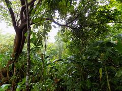 City of Tree (Neo-noir) Tags: panama green earth vegetal biodiversity plants tree biology leaf