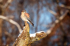 American Kestrel (jwfuqua-photography) Tags: americankestrel nature birds pennsylvania birdsofprey jerrywfuqua peacevalleynaturecenter buckscountyparks buckscounty jwfuquaphotography