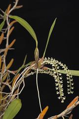 Dendrochylum crassum (Joe McAuliffe) Tags: macro cream white epiphytes flowers flower asia plant orchid orchids orchidaceae