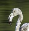 """"""" que guapo soy"""" (ibzsierra) Tags: tamronsp150600mmf563divcusdg2a022 ibiza eivissa baleares canon 7d tamron 150600 g2 flamenco flamingo ave bird oiseau salinas parque natural retrato"""