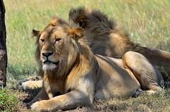 DDR_3969 (Santiago Sanz Romero) Tags: kenya wildlife animales ngc