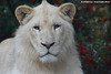 Young white lion male - Zoo Amneville (Mandenno photography) Tags: dierenpark dierentuin dieren animal animals white whitelion lion lions leeuw leeuwen amneville zoo zooamneville france frankrijk