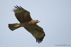 นกอินทรีแถบปีกดำ / Bonelli's Eagle / Hieraaetus fasciatus (bambusabird) Tags: animalbird eagle birdofprey doilor chiangmai thailand