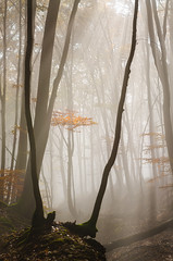 V (Gyula Toth) Tags: forest trees hungary mist fog beams