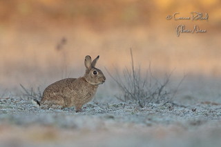Lapin de garenne ( Oryctolagus cuniculus ) - Wild rabbit #1381
