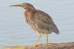 Green Heron in Explore (rosemaryharrisnaturephotography) Tags: greenheron heron rosemaryharris canon7dmk11 canon400mmf56seriesllens florida venicerookery nature blue wildlife floridawildlife coth5 coth ngc