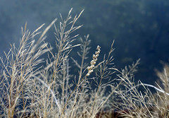 river's edge (lawatt) Tags: grass seeds wispy yosemite sonya7 leica 50mm summicronr