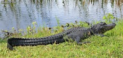 Meanwhile in Florida (Shannon Rose O'Shea) Tags: shannonroseoshea shannonoshea shannon shannonosheawildlifephotography alligatormississippiensis animal reptile orlandowetlandspark christmas florida nature wildlife wild art photo photography camera water grass flickr wwwflickrcomphotosshannonroseoshea colorful outdoors outdoor alligator americanalligator gator canon canoneos80d canon80d eos80d 80d canon100400mm14556lisiiusm