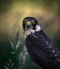 Eurasian hobby (10000 wishes) Tags: birdofprey falcon portrait naturephotography bird wildlifephotography animal woods beauty