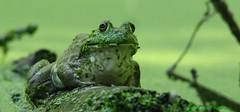 bug eyed (don.white55 That's wild...) Tags: americanbullfroglithobatescatesbeianus thatswildnaturephotography canoneos70d tamronsp150600mmf563divcusda011 amphibian frog nature wildlife wildwoodpark harrisburgpennsylvania
