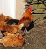 'Cock o' the Walk' (pct4nic) Tags: farmyard chickens cockerel