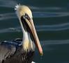 The comically graceful Brown Pelican! (Christine Fusco) Tags: pelecanusoccidentalis brownpelican pelican southcarolina charleston thelowcountry nature water beak nikkor200500 nikon christinefusco