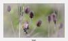 Linotte mélodieuse (gilbert.calatayud) Tags: cardueliscannabina commonlinnet fringillidés linottemélodieuse passériformes bird oiseau femelle ile de ré