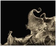 Sunflowers #48 2017 (hamsiksa) Tags: flora angiosperms asteraceae sunflowers helianthus flowers blossoms blooms bracts tepals sepals blackwhite stilllife studio studiophotography botany botanicals plantmorphology plants abstract fragmentation