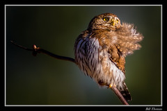 Northern Pygmy Owl in setting sun-2 (billthomas_steel) Tags: northernpygmyowl owl glaucidiumgnoma britishcolumbia bird raptor canon eos7dmarkii canada wildlife winter owlsofthepacificnorthwest