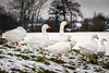 Geese on the lookout (Rob Schop) Tags: tele snow white arcen a6000 sonya6000 55210mmoss geese