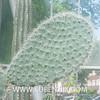 Opuntia scheeri (SUBENUIX) Tags: cactaceaeopuntias opuntiascheeri suculentas subenuix subenuixcom planta suculent suculenta botanic botanical