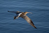 Curlew (Simon Stobart) Tags: curlew numenius arquata flying northeast england from above water coth5 ngc npc