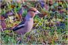 Hawfinch (fausto.deseri) Tags: coccothraustescoccothraustes hawfinch frosone wildlife nature bird wildanimals nikond7100 nikkor300mmf28afsii nikontc17eii faustodeseri