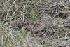 Turnix mugissant - Common Buttonquail (Judith Lessard) Tags: oiseau bird afrique africa kruger parckruger krugerpark oiseauxdafriquedusud birdsofsouthafrica southafrica afriquedusud turnixmugissant commonbuttonquail