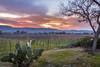 Napa Valley Sunset (allentimothy1947) Tags: califonia hdr mummwinery napacounty landscape sunset vineyard cactus light tree sun mountains clouds