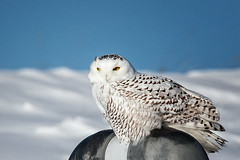 Snowy Owl (John Mullen1) Tags: bird birds nycteascandiaca snowyowl california unitedstates us