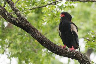 Bateleur eagle (Terathopius ecaudatus) perched on an exposed branch