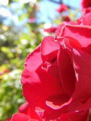 Rose (paiceian) Tags: rose memories green pink red summer sun sunshine flowers sky blue beautiful remember