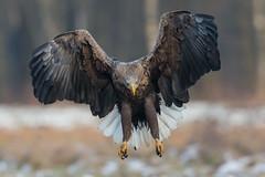 White-tailed Eagle (Mr F1) Tags: johnfanning woodland wte whitetailedeagle raptor bif birdsinflight nature outdoors detail eyes bop birdsofprey wild talons