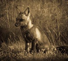 By The Light of the Silvery Moon (Katrina Wright) Tags: pei princeedwardisland dsc48153 fox bw monochrome wildlife fur canine wild sliders hss