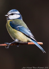 Mallerenga blava (José Manuel, thanks for +425,000 views) Tags: cyanistescaeruleus herrerillo mallerengablava eurasianbluetit ocells aus aves pájaros oiseaux bird utxesa