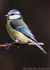 Mallerenga blava (José Manuel, thanks for +400,000 views) Tags: cyanistescaeruleus herrerillo mallerengablava eurasianbluetit ocells aus aves pájaros oiseaux bird utxesa