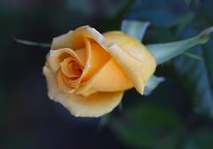 Nevena Uzurov - Soft petals (Nevena Uzurov) Tags: rose bud petals delicate soft love romantic yellow nevenauzurov serbia
