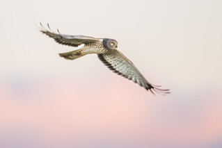 Northern Harrier (Explored)