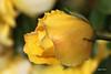 IMG_4415 ( UNIXetvous ) Tags: flowers rose jaune yellow garden jardin
