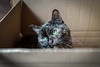 cat in box lurking (lgonzaloro) Tags: cat box smart hiding isolated kitten eyes domestic kitty cardboard cute peeking pet package small animal mammal fur inside surprise feline curiosity tabby closeup beautiful