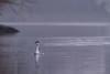 Beauté naturelle ! (Denis-et-Alain-nature) Tags: oiseaux grèbehuppée marais étangs nikond810 sigma50500mmhsm f4563 eau hautsdefrance meurchin