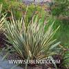 Phormium tenax-2 (SUBENUIX) Tags: phormiumtenax suculentas xanthorrhoeaceae subenuix subenuixcom planta suculent suculenta botanic botanical