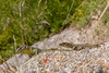 Male-female interaction (Javier Ábalos Álvarez) Tags: lizard podarcis muralis yellow morph assortative mating colourassortative pairing courtship throat extension gola lagarto throatswelling colour signal