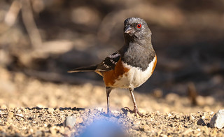 Spotted Towhee Inceville Los Liones Canyon Los Angeles California  030