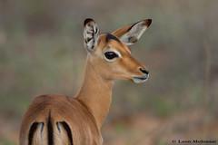 Impala lamb (leendert3) Tags: leonmolenaar nature wildlife krugernationalpark southafrica impala mammals ngc npc coth5