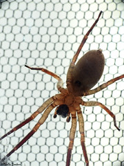 Spider on a window (Geminiature Nature+Landscape Photography Mallorca) Tags: spider araña spin mallorca onderkant underneath abajo ventana raam window macro raynox dcr 250