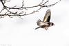 _JHS9546 (Bribes de terre) Tags: faune oiseau hiver chardonneret