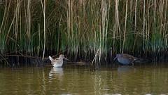 Bécassine des marais Gallinago gallinago - Common Snipe ----  Râle d'eau Rallus aquaticus - Water Rail           CED_9509 (cedric provost) Tags: france bretagne guisseny oiseau bird cedricprovost