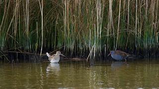 Bécassine des marais Gallinago gallinago - Common Snipe ----  Râle d'eau Rallus aquaticus - Water Rail           CED_9509