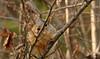 Squirrel, Morton Arboretum. 413 (EOS) (Mega-Magpie) Tags: canon eos 60d nature outdoors wildlife squirrel tree branch cute the morton arboretum lisle il illinois dupage usa america